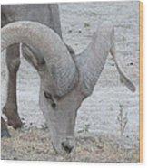 A Young Desert Bighorn Grazes On Wood Print