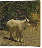A Young Mountain Goat Wood Print