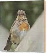 A Young Robin Wood Print