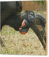 Abyssinian Ground Hornbill Wood Print