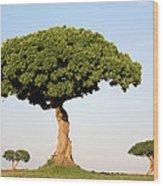 Acacia Trees Masai Mara Kenya Wood Print