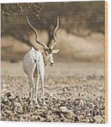 Addax Addax Nasomaculatus Wood Print