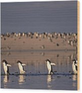 Adelie Penguin Group Commuting Cape Wood Print