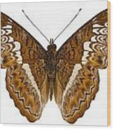 Admiral Limenites Butterfly Wood Print