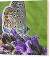 Adonis Blue Butterfly Of Monteriggioni Wood Print