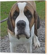 Adorable Saint Bernard Dog Wood Print