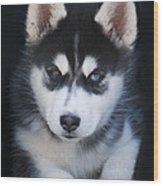 Adorable Siberian Husky Sled Dog Puppy Wood Print