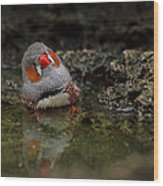 Adorable Zebra Finch Taking A Bath Wood Print