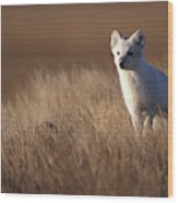 Adult Arctic Fox On The Tundra In Late Wood Print
