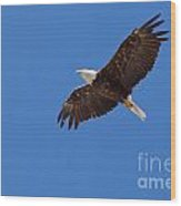Adult Bald Eagle Soaring Haliaeetus Leucocephalus Wood Print