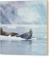 Adult Pacific Harbor Seals On An Ice Wood Print