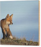 Adult Red Fox On The Tundra In Late Wood Print