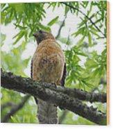 Adult Red Shouldered Hawk Wood Print