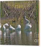 Adult White Ibis  Wood Print