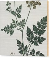 Aethusa Cynapium From Phytographie Wood Print