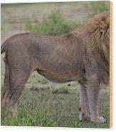 Africa Tanzania Male African Lion Wood Print