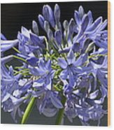 African Blue Lily Wood Print