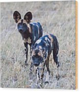 African Cape Hunting Dogs Wood Print