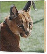 African Caracal Lynx  Wood Print