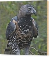 African Crowned Eagle Wood Print