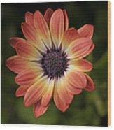 African Daisy - Bicolor Osteospermum Wood Print