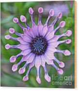 African Daisy - Square Format Wood Print