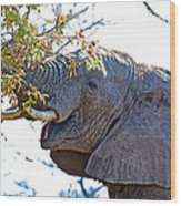 African Elephant Browsing In Kruger National Park-south Africa Wood Print