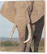 African Elephant Bull Amboseli Wood Print