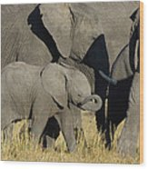 African Elephant Calf With The Herd Wood Print