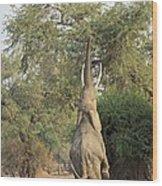 African Elephant Feeding From A Tree Wood Print