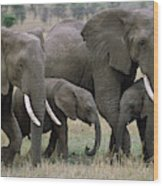 African Elephant Females And Calves Wood Print