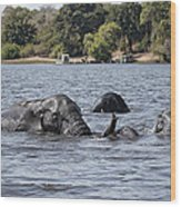 African Elephants Swimming In The Chobe River Wood Print