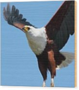 African Fish Eagle In Flight Wood Print