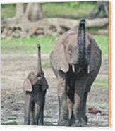 African Forest Elephant And Calf Wood Print