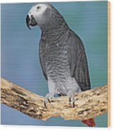 African Gray Parrot Wood Print