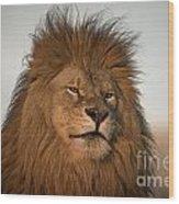 African Lion-animals-image Wood Print