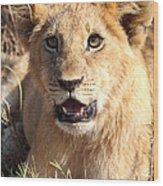 African Lion Cub Resting Wood Print