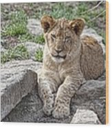 African Lion Cub Wood Print