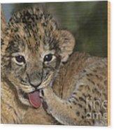 African Lion Cub Wildlife Rescue Wood Print