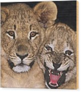 African Lion Cubs One Aint Happy Wldlife Rescue Wood Print