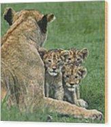 African Lion Cubs Study The Photographer Tanzania Wood Print