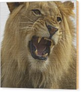 African Lion Male Growling Wood Print by San Diego Zoo