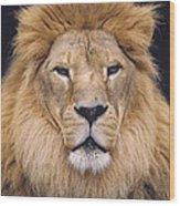 African Lion Male Portrait Wood Print