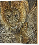 African Lions 6 Wood Print