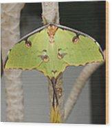 African Moon Moth Wood Print