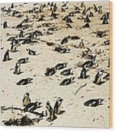 African Penguins Wood Print by Oliver Johnston