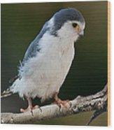 African Pygmy Falcon Wood Print