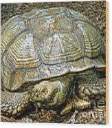 African Spurred Tortoise Wood Print