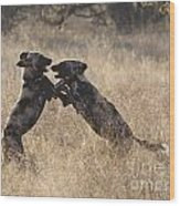 African Wild Dogs Playing Lycaon Pictus Wood Print