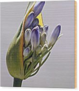 Agapanthus Blue Wood Print